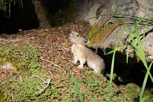 USA. Mt. Rainier National Park. Young American Pika (Ochotona Princeps) Feeding.
