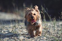 Yorkshire Terrier Looking Away On Field