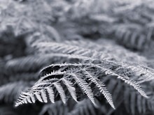 Black And White Monochrome Fern