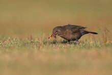 An Eurasian Blackbird Collecting Worms