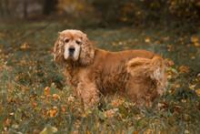 Portrait Of Spaniel On Field