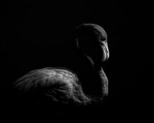 Close-up Of Flamingo Against Black Background