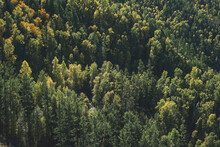 Green Dense Autumn Coniferous Forest In Mountains, Firs And Pines Textured Natural Backround