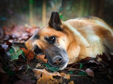 Portrait Of Sad German Shepherd Dog Resting With The Head On Autumn Leaves Fallen On The Ground