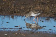 Common Redshank, Tringa Totanus Bird In Habitat At Low Tide