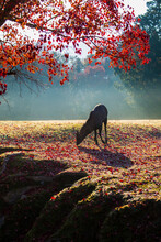 Nara Park And Deer In The Autumn Colors