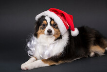 Miniature (or Toy) Australian Shepherd Puppy Reclining Wearing His Santa Hat And Beard.