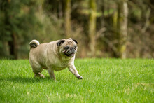 Redmond, Washington State, USA. Fawn Pug Walking On His Lawn.