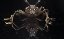 Close-up Of Long Horm Beetle  On Black Background