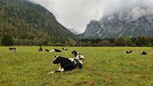Cows Grazing On Field By Mountains Against Sky