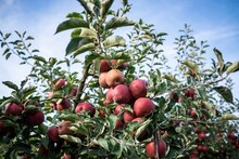 Low Angle View Of Apple Fruits Growing On Tree Against Sky