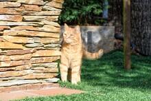 Full Length Of Ginger Cat On Grass