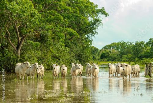Fototapeta Cattle crossing a flooded area in the Mato Grosso wetland, Pocone, Mato Grosso, Brazil on November 25, 2007