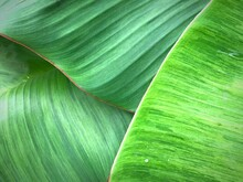 Close Up Beautiful Fresh Green Banana Leaves Background And Texture Space For Design