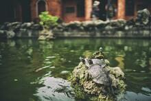 Turtles Sun Tanning In Pond