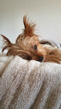 Portrait Of Yorkshire Terrier Relaxing At Home
