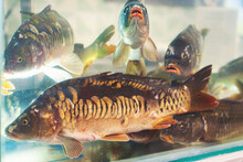 The Fish In The Aquarium.a Group Of Live Carp On Sale In A Supermarket.selective Focus