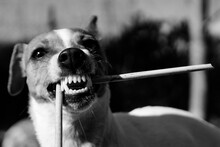 Tsunami The Jack Russell Terrier Dog Biting On A Stick And Showing Off Her Pearly White Teeth