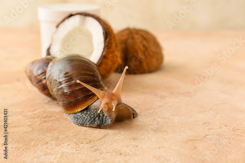Fotografiet Giant Achatina snail and coconut on color background
