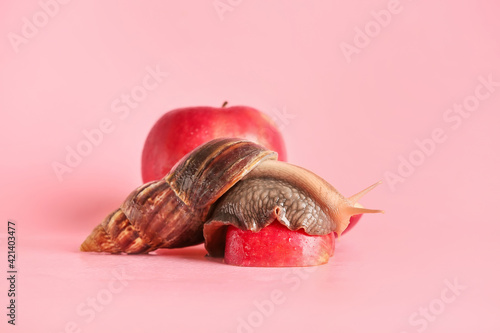 Canvas Print Giant Achatina snail and apples on color background