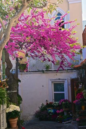 Canvastavla Bougainvillaea in bloom on the street of Capri town. Italy
