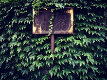 Close-up Of Ivy Growing On Wall Covering An Old Street Sign