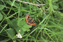 Red Admiral Butterfly On Leaf