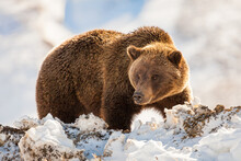 Close Up Of Brown Bear In The Snow In Denali National Park Alaska