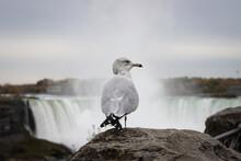 Seagull- Niagara Falls