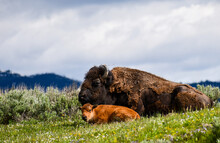 Yellowstone National Park Bison Mama And Baby
