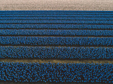 Aerial View Of Hyacinth Flowers Filed