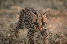 Portrait Of Ocelot On Field