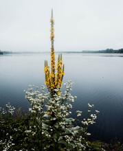 Mullein With Lake In Background