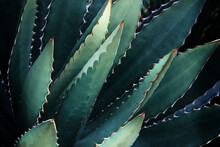 Thorncrest Century Agave Plant Natural Abstract Pattern Background