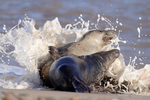 Grey Seals Playing In The Surf