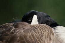 Close-up Of Canada Goose