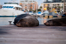 Seals Sleeping On Wooden Pier At Lake