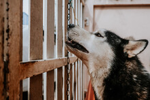 Siberian Husky Dogs Are Waiting For The Boss In Front Of The House