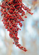 601-40 Sumac Berries In Winter