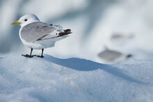 Close-up Of Seagull Perching On Snow Covered Field