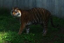 Sumatran Tiger Standing In A Zoo