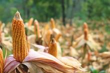 Close-up Of Fresh Corn On Field