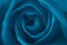 Blue Rose, Close Up Background.