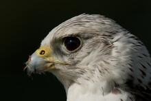 Close-up Of Hawk Over Black Background