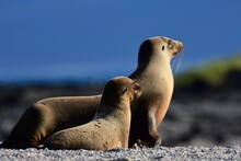 Following- A Sea Lion Pup Following Mom To The Sea