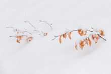 Winter Colorful Branch With Leaves Close-up With The Snow Isolated In The Nature