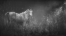 White Horse Through The Misty Morning In Black And White.