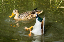 Mallard Duck Ducks On Lake Pond Drakes And Hens Low Level Close Up View
