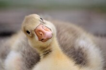 Duckling Or Gosling With A Funny Look