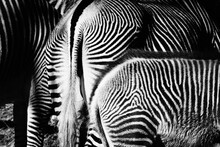 Close-up Of Two Zebra